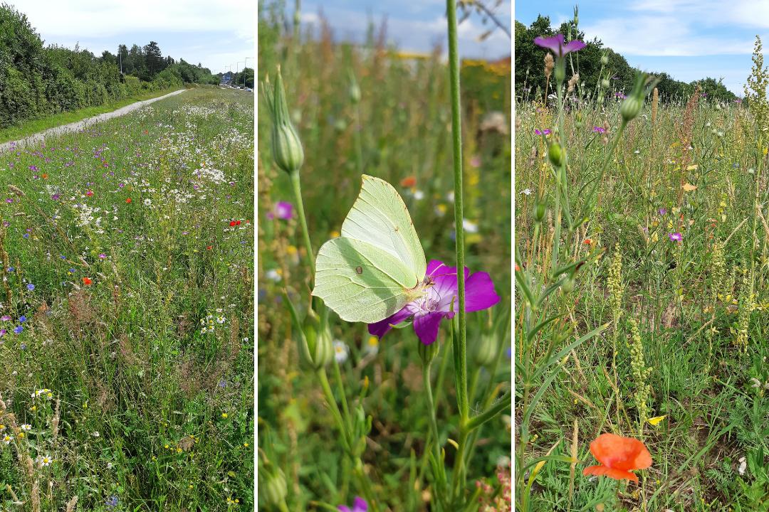 vild rabat sommerfugle sommer nspv nordsjælland